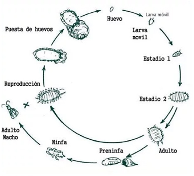 ciclo melazo